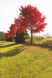 红色秋天结构树在国家(地区) 库存图片