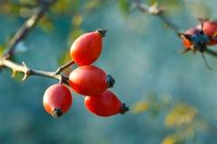 红色莓果 库存照片