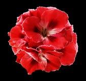 红色秋海棠花束在黑色的隔绝了与裁减路线的背景 没有阴影的特写镜头 免版税图库摄影