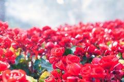 红色秋海棠花背景 免版税库存图片
