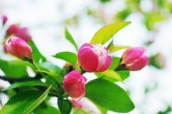 红色秋海棠花 库存图片