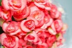 红色秋海棠 图库摄影