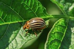 红色科罗拉多甲虫吃土豆叶子  庭院的虫 库存照片