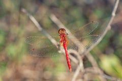 红色突进者蜻蜓背面观  库存图片