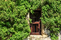 红色窗口和爬行物生长 免版税库存图片