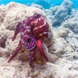 活红色章鱼坐珊瑚礁,马尔代夫 库存照片