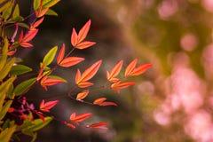 红色竹子叶子 免版税库存照片