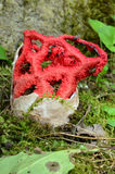 红色笼子蘑菇 库存图片