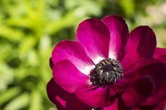 红色紫色波斯毛茛 库存照片