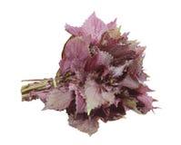 红色紫苏 库存图片