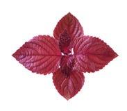 红色紫苏 图库摄影