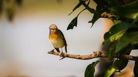 红色红喉刺莺的捕蝇器 免版税库存图片