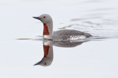 红色红喉刺莺的潜水员 库存照片