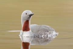 红色红喉刺莺的潜水员 免版税库存照片