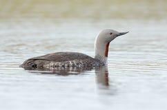红色红喉刺莺的潜水员 库存图片