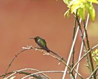 洋红色红喉刺莺的Woodstar 免版税库存图片