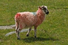红色绵羊 图库摄影