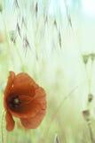 红色罂粟属鸦片花 免版税库存图片