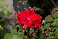 红色罗莎Canina花 免版税库存照片