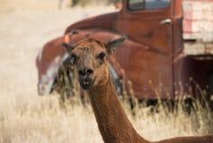 红色羊魄在有老红色卡车的小牧场在背景中 免版税库存图片
