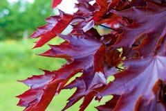 红色美丽的叶子 这棵槭树 库存照片