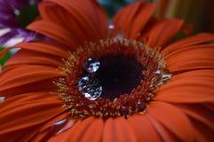 红色美丽的大丁草的雨珠 免版税库存照片