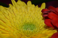 红色美丽的大丁草的雨珠 免版税库存图片
