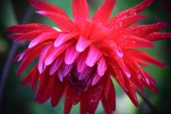 红色美丽的花即乔治娜或大丽花 免版税库存图片