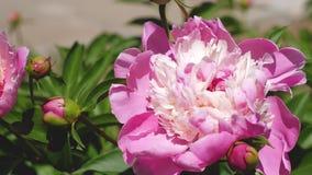 红色美丽的花牡丹在庭院里在春天震动风 特写镜头 美丽的花开花芍药属lactiflora  股票视频