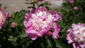 红色美丽的花牡丹在庭院里在春天震动风 美丽的花开花芍药属lactiflora  股票视频