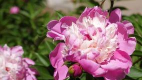 红色美丽的花牡丹在庭院里在春天震动风 美丽的花开花芍药属lactiflora  影视素材