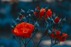 红色美丽的花 英国兰开斯特家族族徽灌木 水平的夏天开花艺术深蓝背景 Flowerbackground, gardenflowers 免版税库存图片