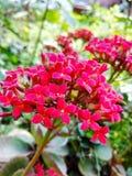 红色美丽的花 免版税库存照片