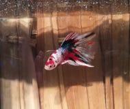 红色美丽的betta鱼 免版税库存图片