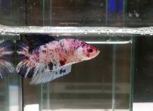 红色美丽的betta鱼 图库摄影