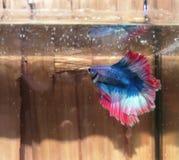 红色美丽的betta鱼 库存图片