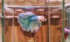 红色美丽的betta鱼 免版税图库摄影