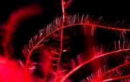 红色羽毛作为抽象背景 库存图片
