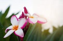 红色羽毛在美丽的树,赤素馨花秀丽开花 免版税库存照片
