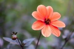 红色翠菊花侧视图 Callistephus瓷艺术 库存图片