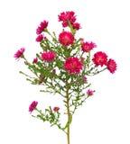 红色翠菊amellus花 库存照片