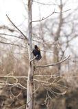 红色翼黑色鸟唧啾叫响亮地召集在早期的春天 库存图片