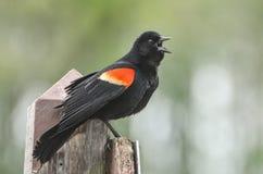 红色翼黑色鸟唱歌 库存图片