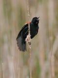 红色翼黑色鸟 免版税库存照片