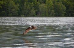 红色老鹰涂它的翼,并且降低在水,上升飞溅 免版税库存照片