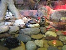 红色耳朵乌龟在他们的河岸的自然生态环境 库存照片