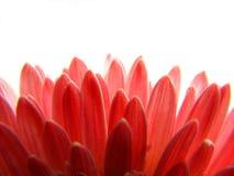 红色背景的瓣 免版税图库摄影