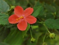 红色脊椎上升了与绿色叶子在一个晴朗的早晨 库存照片