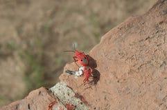 红色臭虫泰国 图库摄影