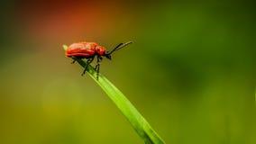 红色臭虫 库存图片